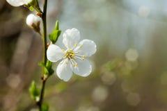 Jabłoń kwiat na gałązce Jabłoń kwitnie w wiośnie Fotografia Royalty Free