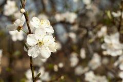 Jabłoń kwiat na gałązce Jabłoń kwitnie w wiośnie Obraz Royalty Free