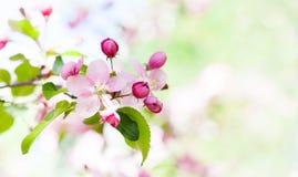 Jabłoń kwiatu okwitnięcia makro- widok Kwitnący różowych płatków owocową gałąź, składa zamazanego bokeh tło shalna obrazy stock