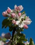 Jabłoń kwiaty Zdjęcie Stock