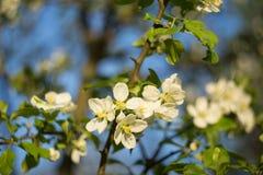 Jabłoń kwiaty kwitną zbliżenie z zamazanym niebieskiego nieba tłem Obraz Stock