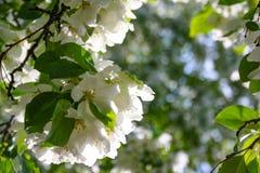 Jabłoń kwiaty peleng część roślina, składać się z odtwórczych organów stamens i owocolistki, Zdjęcie Stock