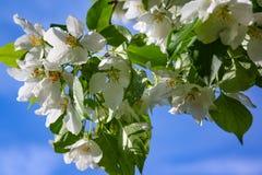 Jabłoń kwiaty peleng część roślina, składać się z odtwórczych organów stamens i owocolistki, Obrazy Stock