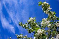 Jabłoń kwiaty peleng część roślina, składać się z odtwórczych organów stamens i owocolistki, Fotografia Stock