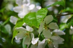 Jabłoń kwiaty peleng część roślina, składać się z odtwórczych organów stamens i owocolistki, Zdjęcia Royalty Free