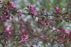 Jab?o? kwitnie dobrze w Sakura stylu zdjęcie royalty free