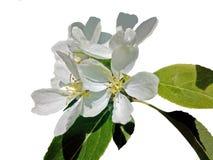 Jabłoń kwitnie na białym tle Obraz Stock