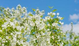 Jabłoń kwitnie na niebieskiego nieba tle Obrazy Royalty Free