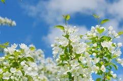 Jabłoń kwitnie na tle chmury 2 Obraz Stock