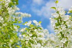 Jabłoń kwitnie na tle chmury Obraz Stock