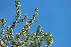 Jabłoń kwitnie przeciw niebu na błękitnym backgroun obrazy royalty free