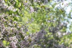 Jabłoń kwitnie w ogródzie Fotografia Stock
