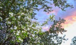 Jabłoń kwitnie w springe Fotografia Royalty Free