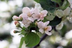 Jabłoń kwitnie w wiośnie Zdjęcia Stock