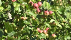 Jabłoń opuszcza pełno i rozgałęzia się dojrzały czerwony owoc dorośnięcie w ogródzie Ostrości zmiana 4K zbiory
