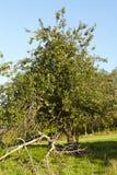 Jabłoń przy jesienią Obrazy Royalty Free