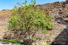 Jabłoń przy miejscem egzekucja Aleksander Ulyanov zdjęcie stock