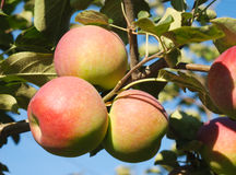 Jabłoń sadu Paula czerwień Zdjęcia Stock