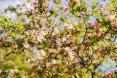 Jabłoń w kwiacie Fotografia Royalty Free
