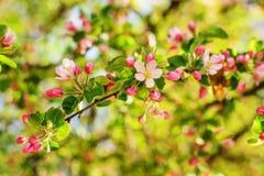 Jabłoń w kwiacie Obrazy Royalty Free