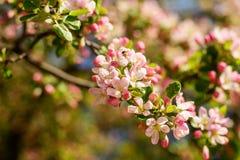 Jabłoń w kwiacie Zdjęcie Royalty Free