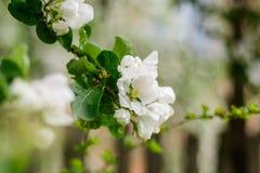 Jabłoń w kwiacie Obraz Royalty Free