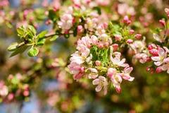 Jabłoń w kwiacie Zdjęcia Royalty Free