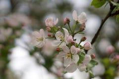 Jabłoń w kwiacie Zdjęcia Stock