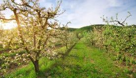 Jabłoń w ogródzie Fotografia Stock