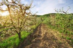 Jabłoń w ogródzie Zdjęcie Royalty Free