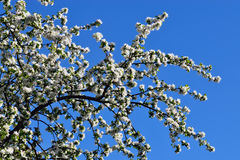 Jabłoń w okwitnięciu Zdjęcia Royalty Free