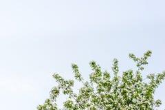 Jabłoń w okwitnięciu zdjęcie stock