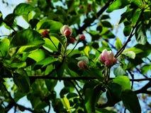 Jabłoń w wiośnie obraz stock