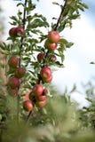 Jabłoń z czerwonymi jabłkami Zdjęcie Royalty Free