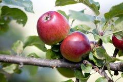 Jabłoń z czerwonymi jabłkami Obraz Royalty Free