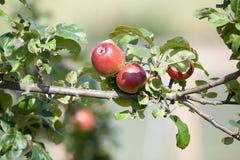Jabłoń z czerwonymi jabłkami Obraz Stock