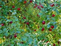 Jabłoń z czerwonymi jabłkami w ogródzie obraz stock
