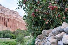 Jabłoń z dojrzałymi czerwonymi owoc w ogródzie na tle czerwone skały Chusang, Obraz Stock