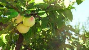 Jabłoń z jabłkami zbiory wideo