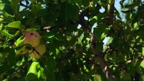 Jabłoń z jabłkami zdjęcie wideo