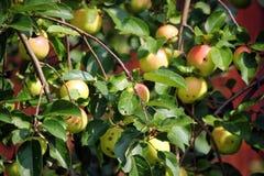 Jabłoń z jabłkami Obraz Royalty Free