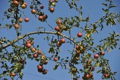 Jabłoni gałąź Zdjęcia Royalty Free