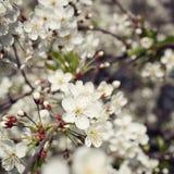 Jabłoni gałąź Obraz Royalty Free
