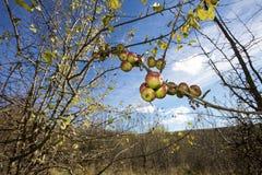 Jabłoni gałąź Fotografia Royalty Free