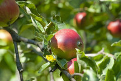 Jabłoni gałąź z świeżymi soczystymi owoc Fotografia Royalty Free