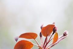 Jabłoni gałąź z czerwonymi liśćmi Wiosna ogródu krajobraz miękka selekcyjna ostrość, kopii przestrzeń Zdjęcie Stock