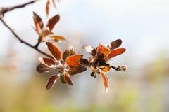 Jabłoni gałąź z czerwonymi liśćmi Wiosna ogródu krajobraz miękkie ogniska, Zdjęcia Royalty Free