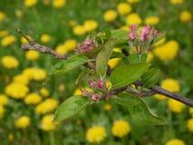Jabłoni gałąź z kwiatów pączkami, żółty kwitnący dandelion kwitnie fotografia stock