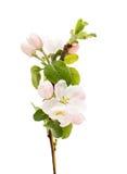 Jabłoni gałąź z kwiatami Zdjęcia Royalty Free
