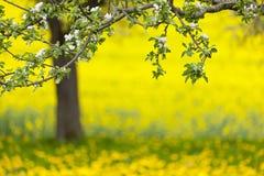 Jabłoni I Dandelion łąka W wiośnie Fotografia Stock